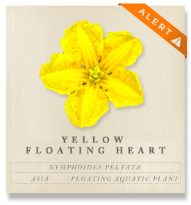 Yellow Floating Heart - Nymphoides peltata