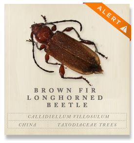 Brown Fir Longhorned Beetle - Callidiellum villosulum