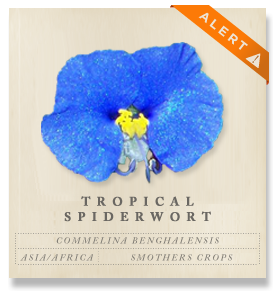 Tropical Spiderwort - Commelina benghalensis