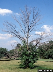 Hello Emerald Ash Borer. Goodbye Texas Ash Trees.
