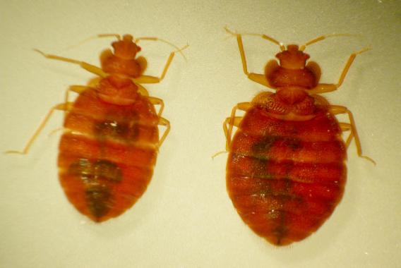 Bed Bugs Invasive Species