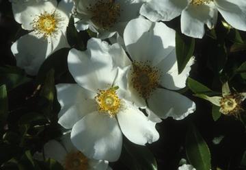 Texas invasives rosa laevigata mightylinksfo