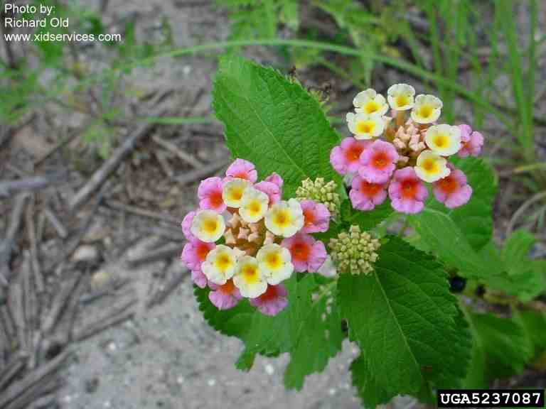 TexasInvasives.... Glossy Privet Tree