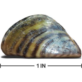o Zebra Mussels. Goodbye Texas Lakes. on